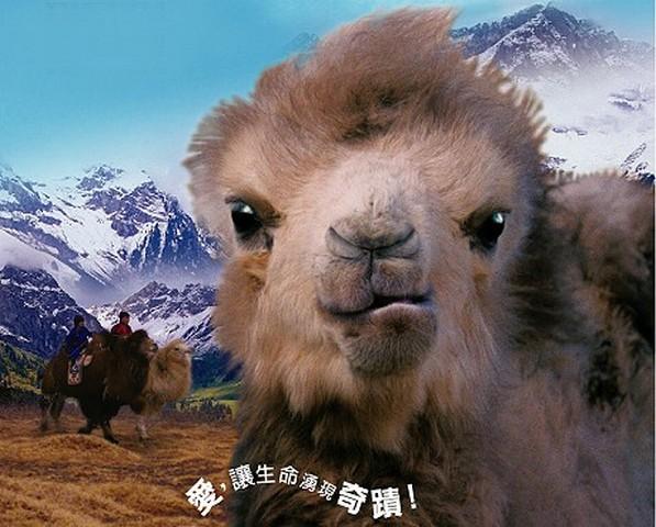 疯狂动物城骆驼