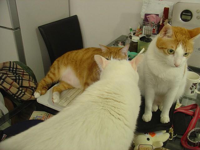 辦公桌,貓咪