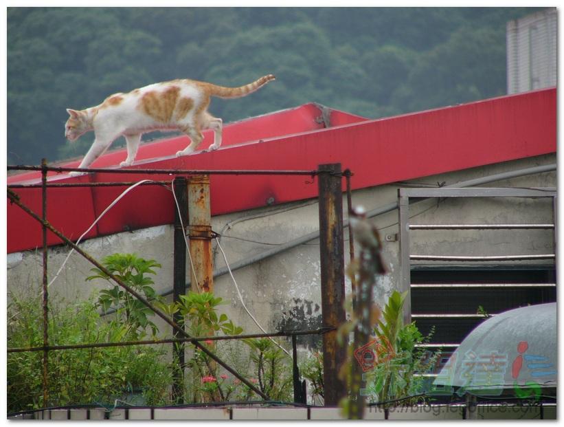 白頭翁-貓咪