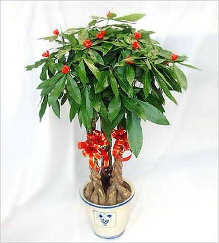 風水植物-發財樹