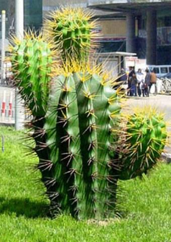 風水植物-仙人掌