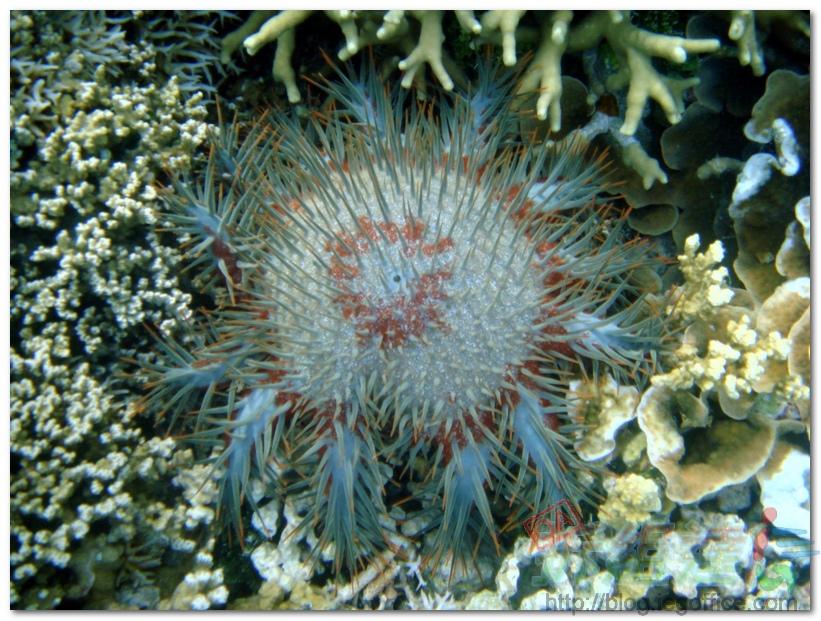 帛琉大斷層-珊瑚殺手-殺手海星